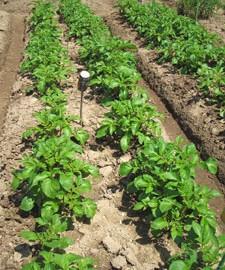 ジャガイモは、日光に当たると緑色になり、ソラニンという毒素が生じる。地表に芋が出ないように土寄せが必要