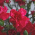 スプレー咲き(すぷれーざき)