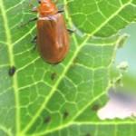 瓜葉虫(ウリハムシ)