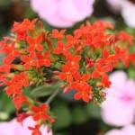短日植物(たんじつしょくぶつ)