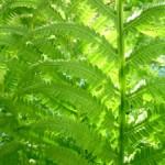 陰生植物(いんせいしょくぶつ)