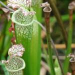 食虫植物(しょくちゅうしょくぶつ)