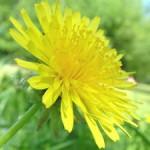 集合花(しゅうごうか)