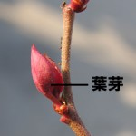 葉芽(はめ・ようが)