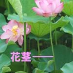 花茎(かけい)
