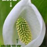 肉穂花序(にくすいかじょ)