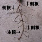 側根(そくこん・そっこん)