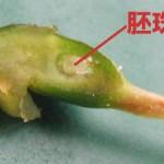 胚珠(はいしゅ)