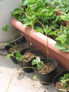 イチゴのランナー繁殖