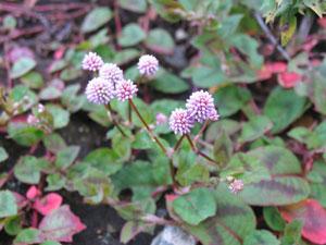 這い性植物のポリゴナム、和名はヒメツルソバ