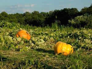 地這いの西洋かぼちゃ