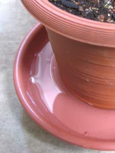 腰水は、水切れした植物に効果的