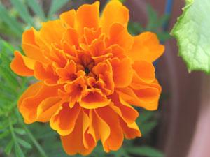 作物と相性の良い植物(コンパニオンプランツ)を側に植えることで、農薬の使用量を減らすこともできる