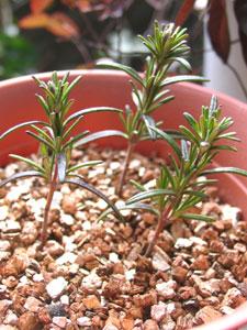 挿し木は、植物の再生能力を利用した繁殖方法