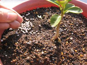 肥料は、植物に直接触れないように与える