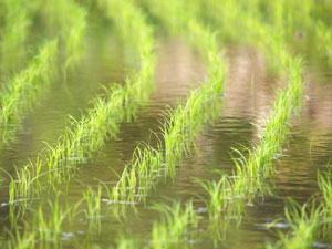 水田によく利用される沖積土