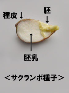 さくらんぼ種子