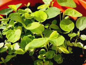混み合った芽には、植え替えや、間引きが必要