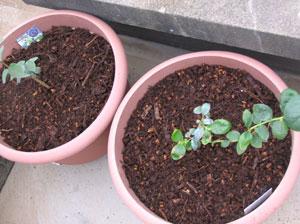 ブルーベリー挿し木苗の鉢上げ