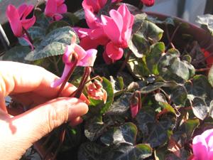 咲き終わった花柄を摘むと、花期を長く楽しめるシクラメン