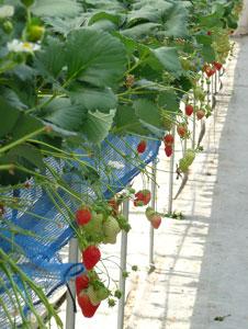 イチゴの水耕栽培