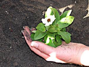花の苗を定植