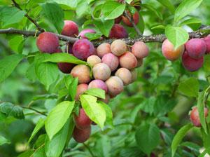 適度に摘果しないと、小さな果実が多く実る