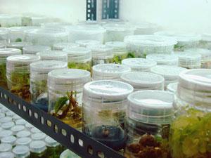 培地を使った植物細胞の培養