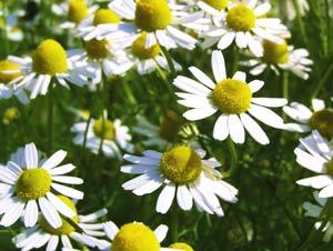 ギリシャ語で「大地のリンゴ」を意味するカモミールは、古来から薬草として利用されてきた