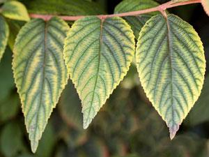葉脈を残して葉が黄変する、クロロシスの症状