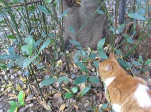 月桂樹のひこばえ