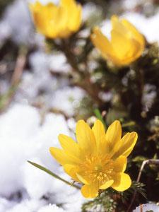 宿根草の福寿草は、夏季は根株で休眠し、2月頃に開花する