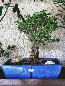 化粧鉢で楽しむ盆栽