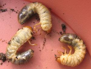 コガネムシ(幼虫)
