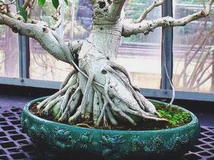 盆栽では、地表部にある根の状態のことを根張りという