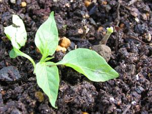 ネキリムシの被害、茎が食いちぎられている