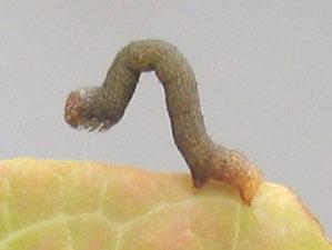 尺取虫(シャクトリムシ)
