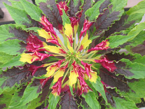 葉に黄色と赤色の斑が入った、トリカラーアマランサス(ハゲイトウ)