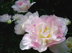 チューリップ晩生種のアンジェリケ。5月に咲く遅咲きチューリップは、メイフラワーチューリップとも呼ばれる。