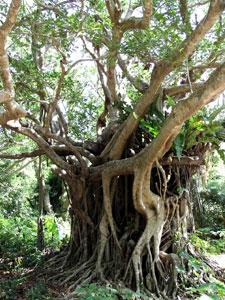 生長すると、やがて寄主を覆い尽くし、枯らしてしまうガジュマルは「絞め殺しの木」とも呼ばれている