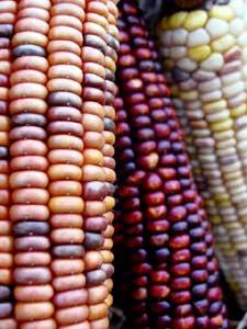トウモロコシは果菜類に属する