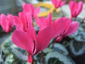 中性植物のシクラメン