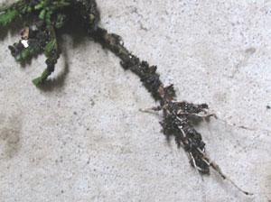 挿し芽の発根