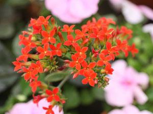 短日植物のカランコエ