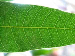 主に光合成が行われる葉