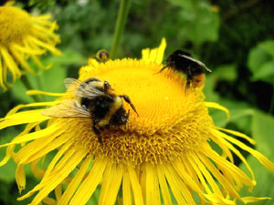 他家受粉を媒介するミツバチ