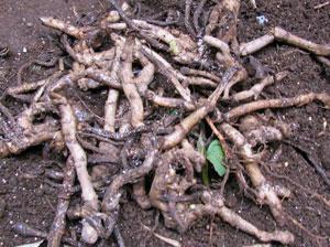 ミョウガの根茎