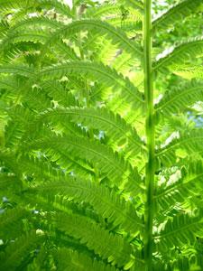 陰生植物のシダ類