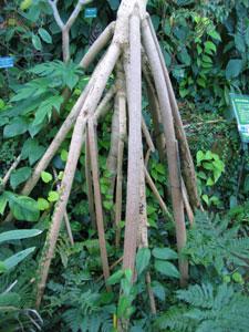 タコノキの支柱根
