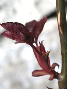 バラのわき芽